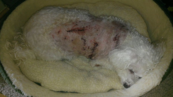 Bobcat Attacks Dog Video