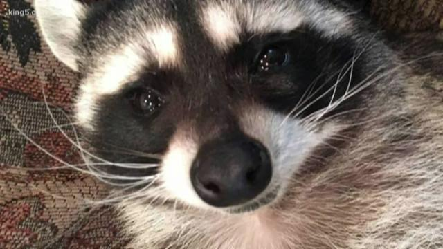 Pet raccoon 'Mae' ordered to stay at wildlife rehab despite family's plea